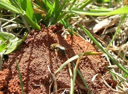 Figure 1. Bees in turf.