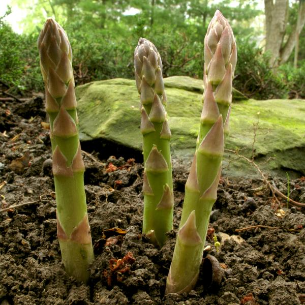 Photo of asparagus growing