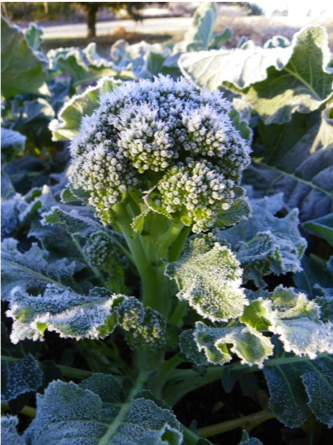 Color photo of broccoli with frost on leaves and head