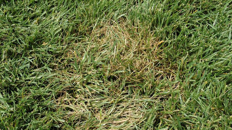 Brown patch in tall fescue