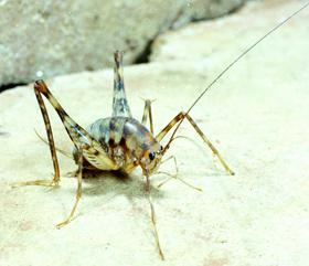 Figure 1. Camel cricket.
