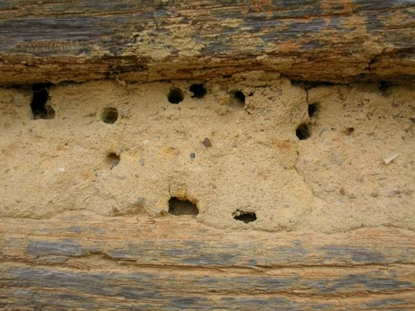 Figure 1. Miner bee nest in log cabin.