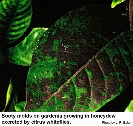 Sooty molds grow in honeydew excreted by citrus whiteflies.
