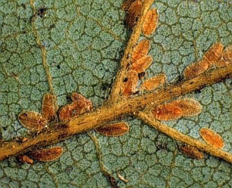 Figure 1. Cottony maple leaf scale.