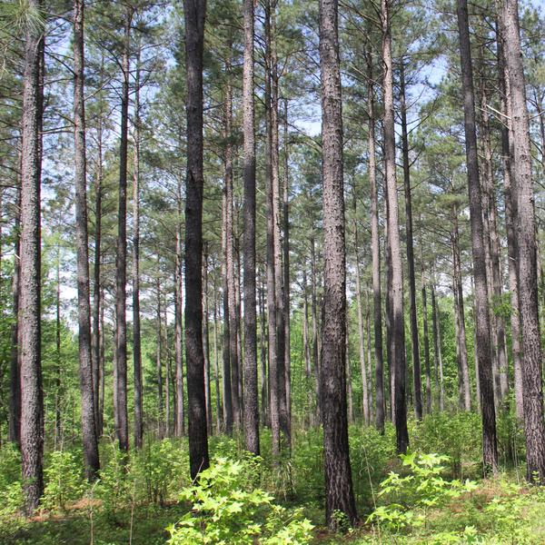 Photo of a stand of pine trees
