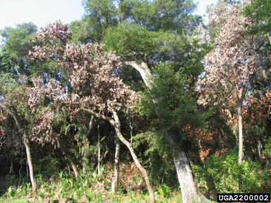 Figure 1. Dead trees from laurel wilt disease.