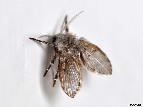 Drain fly adult
