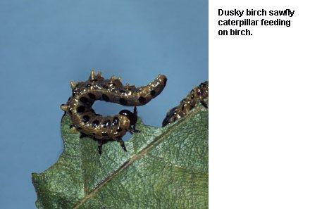 Figure 5. Dusky birch sawfly caterpillar feeding on birch.