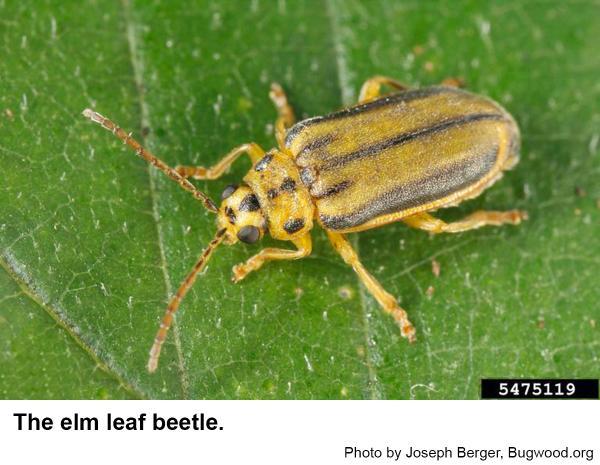 Elm leaf beetles