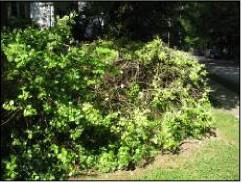 Figure 1. Euonymus bush infested with euonymus scale.