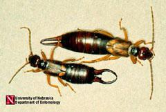 Figure 1. Earwigs.