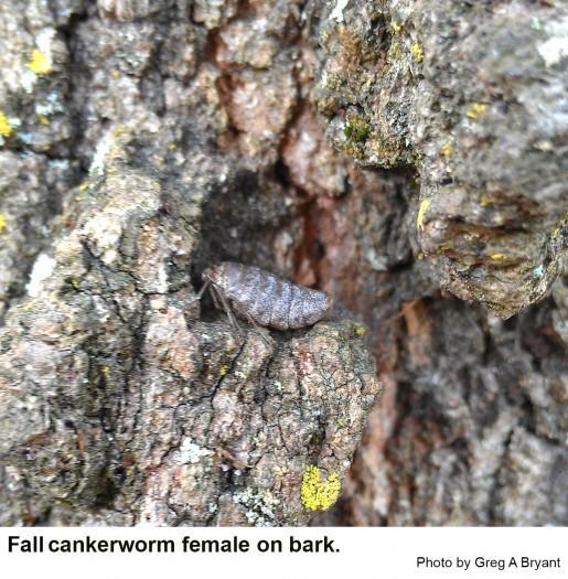 Female fall cankerworm moth on bark.