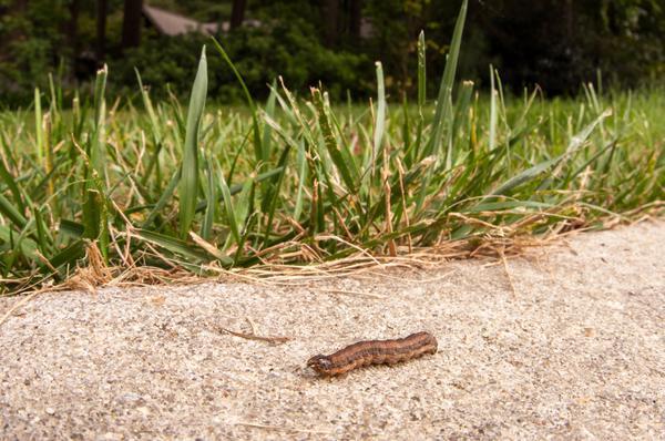 Figure 1. Fall armyworm larva.