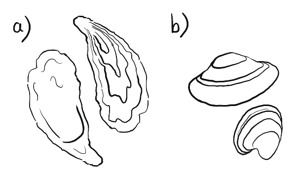 Oysters have a tear-drop shape. Clams are compact and rounded.