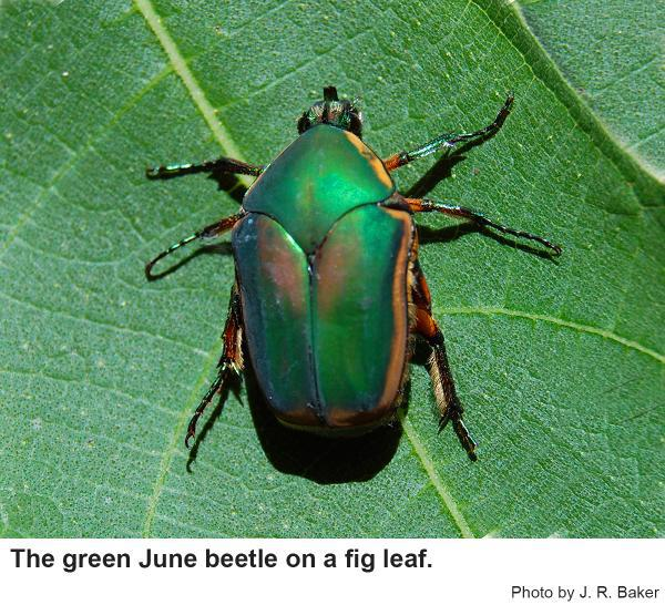 Adult beetles are green with hints of bronze.