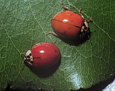 Figure 1. Multicolored Asian lady beetles.