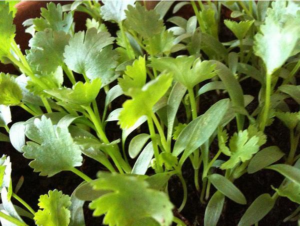 Photo of cilantro