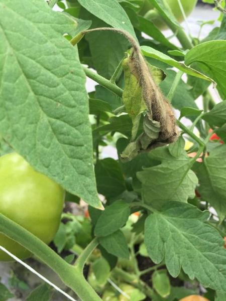 Gray mold caused by Botrytis cinerea on high tunnel tomatoes
