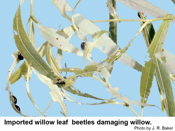 Imported willow leaf beetles on willow.