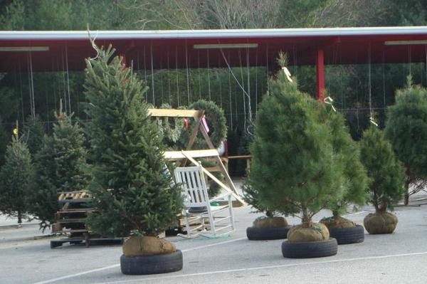Balled and burlapped Fraser fir and white pine trees.