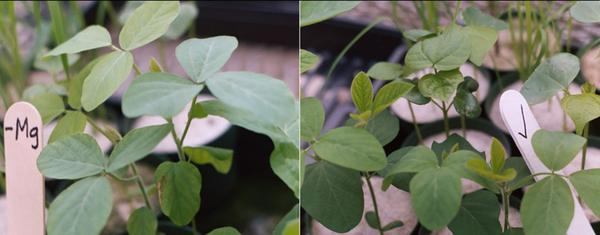 Mg-deficient soybean plants