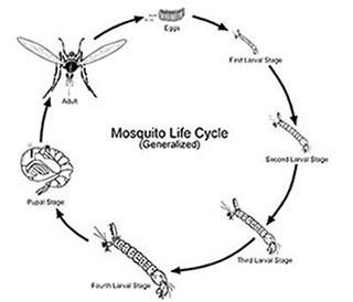 Figure 1. Mosquito life cycle.