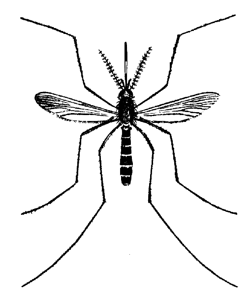 Dorsal view llustration of a Culex erraticus mosquito