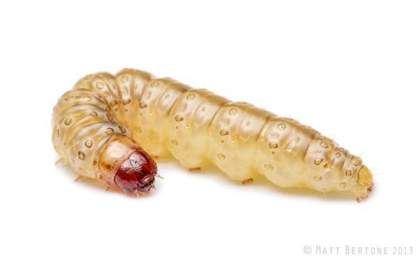 European corn borer larva.