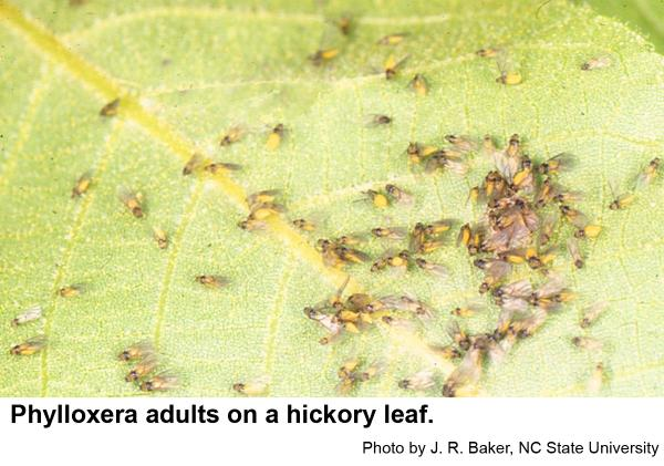 Phylloxera are aphid-like insect