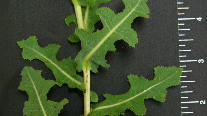 Prickly lettuce leaflet number.