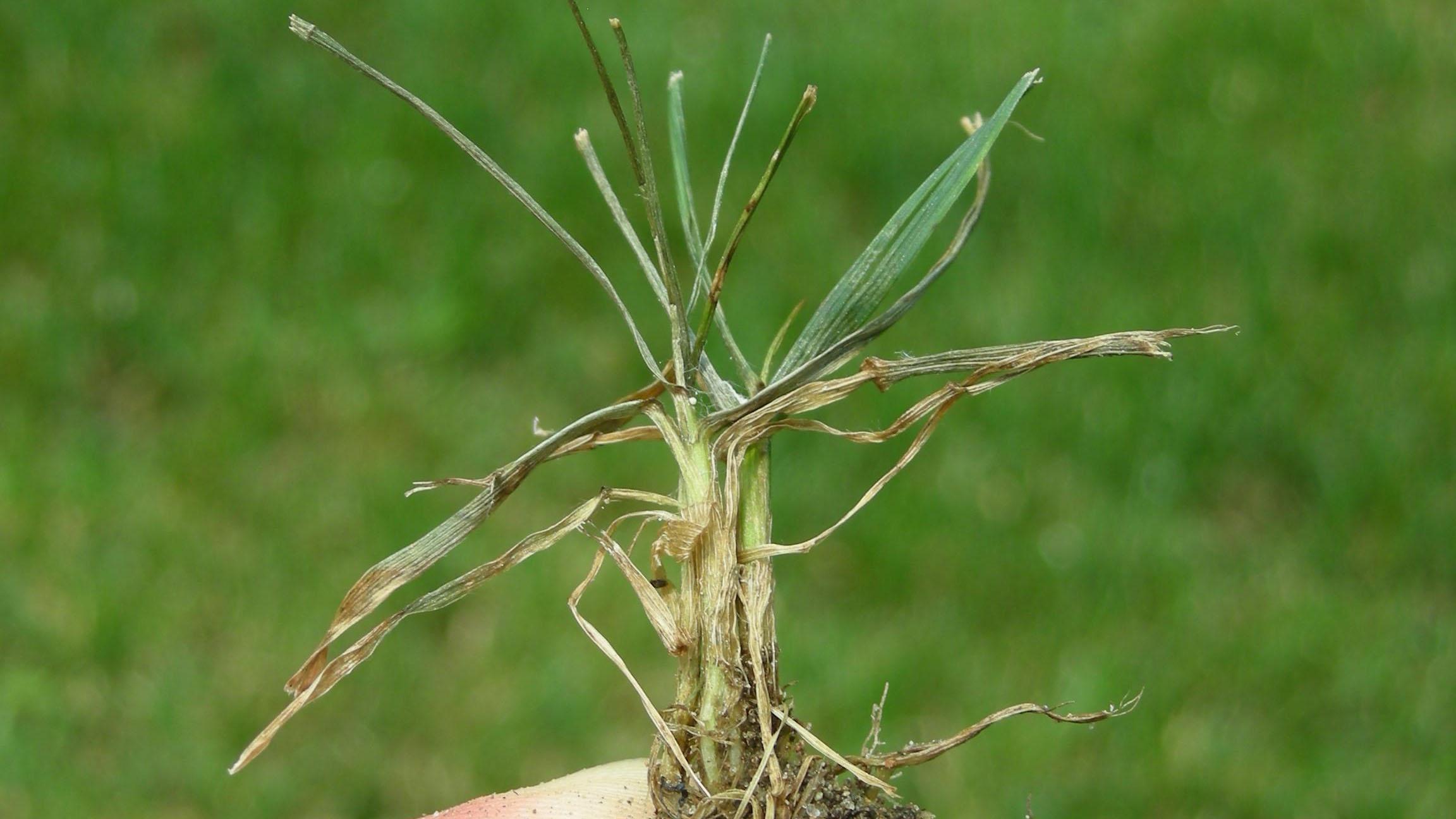 Pythium blight foliar stand symptoms.