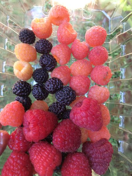 Fruit of red, black and yellow raspberry.
