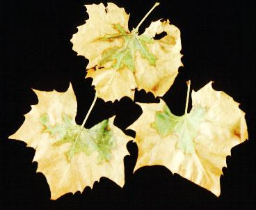 Photo of Sycamore displaying scorch symptoms.