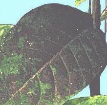 Figure 1. Sooty mold.