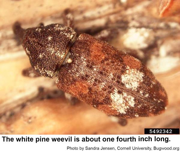 White pine weevil