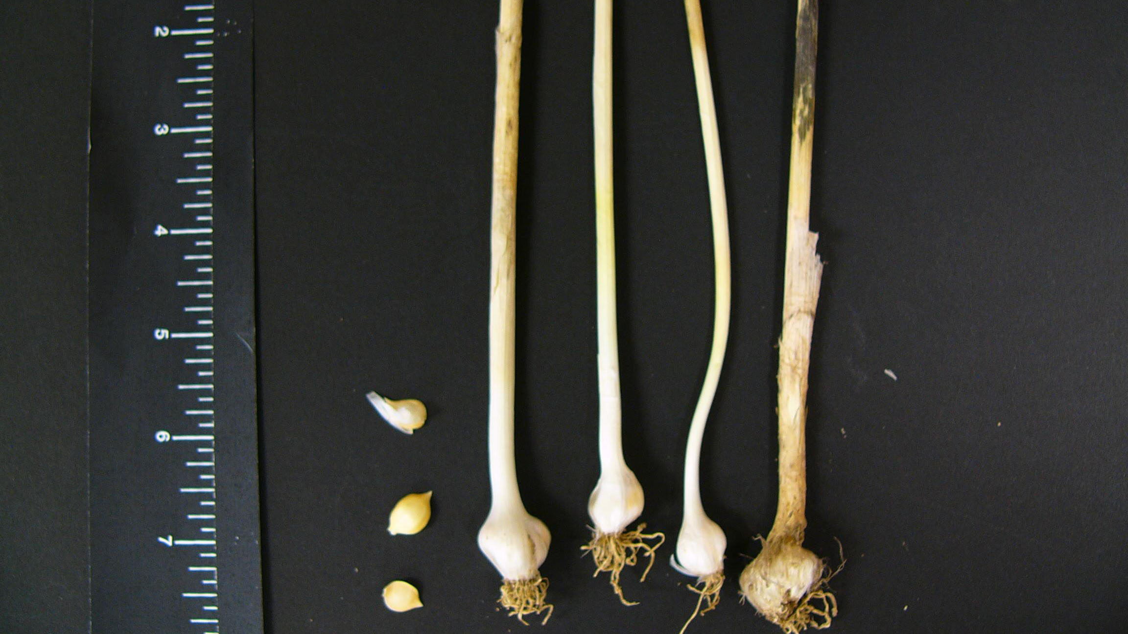 Wild garlic root type.
