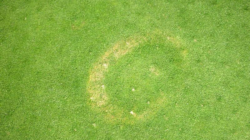 Yellow patch stand symptoms.