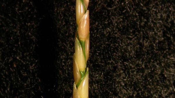 Zoysiagrass seedhead.