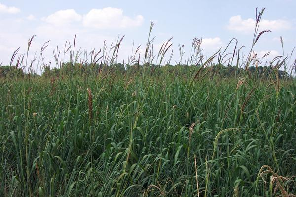 Thumbnail image for Supplementation of Native, Perennial Warm-Season Grass Hays and Annual Corn Silages and Preference Among Silages of Annual Grasses: Dry Matter Intake and Digestibility