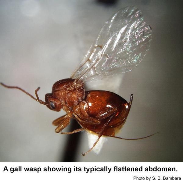 A typical female gall wasp.