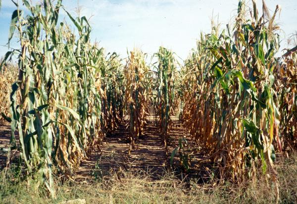 Photo of corn growing in a field.
