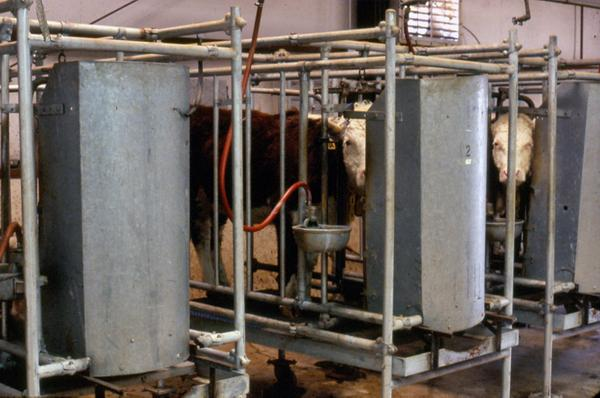 Photo of steers in the experimental digestion facility.