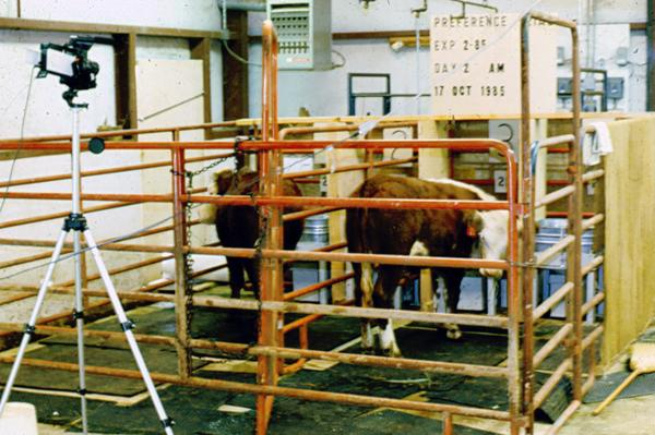 Photo of steers in the experimental preference facility.