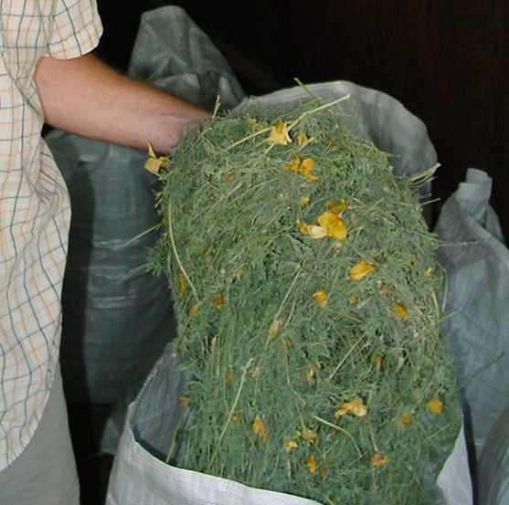 Figure 9. Dried California poppy in a poly-sack.