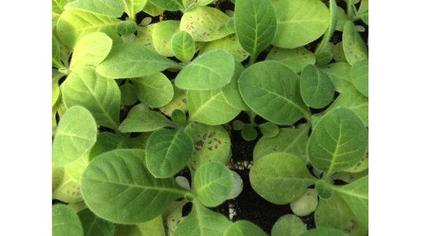 Symptoms of phosphorus deficiency with seedlings in a float bed.