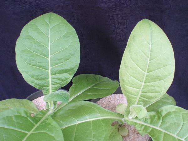 Tobacco - Sulfur (S) Deficiency | NC State Extension