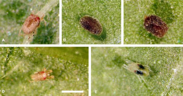 Mites infected with fungus and healthy mite.