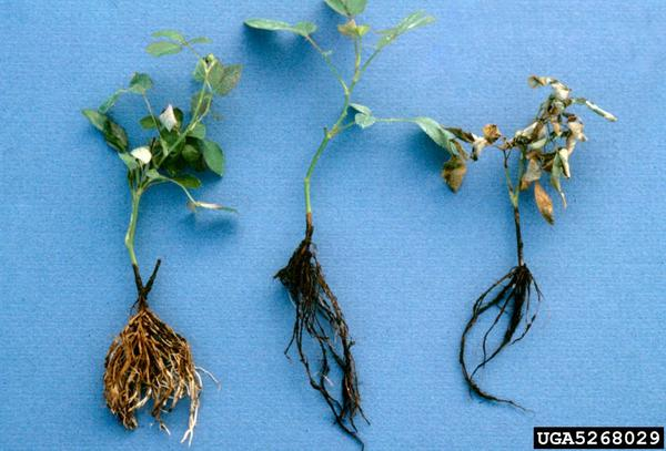 Thumbnail image for Black Root Rot on Ornamental Plants