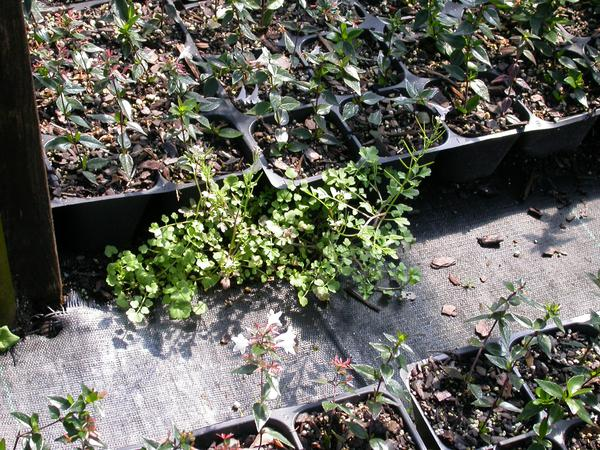 Fig 10. Spilled substrate can provide an environment for weeds