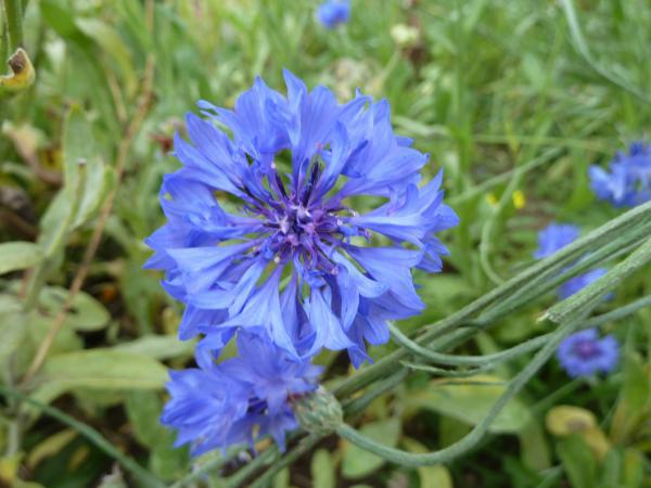Figure 10 5 Blue Or Purple Flowers Like This Stock Centaurea Cy Are Best Viewed Up Close
